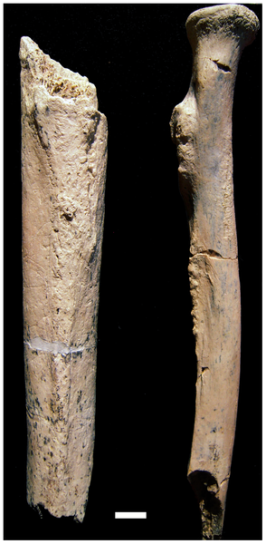 The_right_femur_OH_80-12_left_side_of_image_and_right_radius_OH_80-11_right_side_of_image_of_the_OH_80_hominin_from_Level_4_at_the_BK_site.png